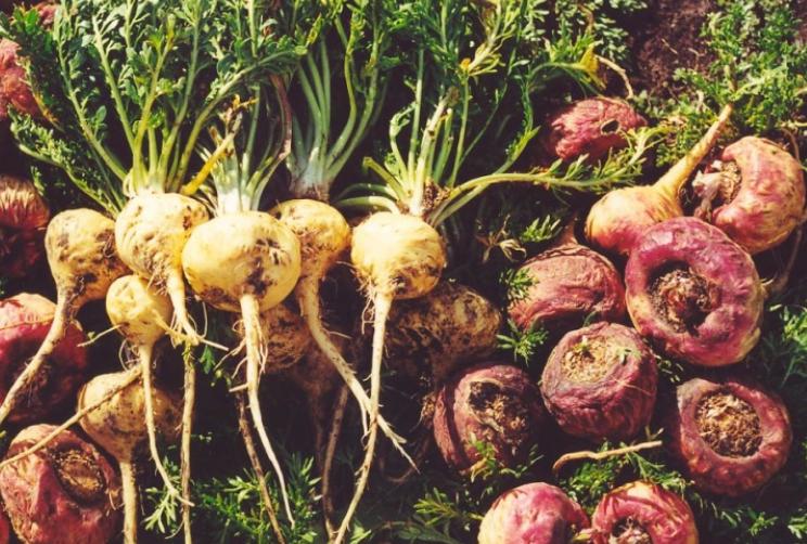 maca root benefits